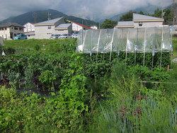 新鮮野菜を毎日収穫