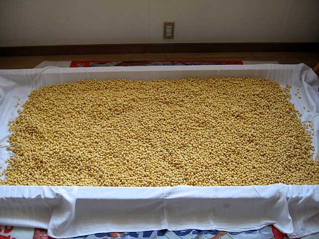 醤油麹造り −大豆を冷ます−